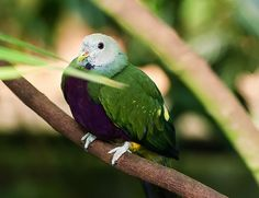 """Wompoo Fruit Dove by Chris Flees  """"An image of a Wompoo Fruit dove in a tree. They are beautiful and colorful birds. The Wompoo Fruit dove is native to Australia and New Guinea. When food in their area is plentiful you can find these birds in large groups. """""""