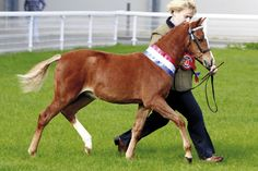 View the pictures from Horse & Hound's visit to the Welsh National Foal Show 2013 at http://www.horseandhound.co.uk/galleries/v/showing/shows/welsh-national-foal-show-2013/