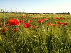 Weizenfeld mit Mohn Poppies in a field