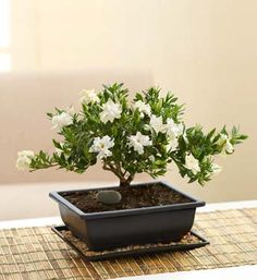 Gardenia Bonsai- A traditional gardenia bonsai creates a sculptural design in any setting with graceful and fragrant white blooms $49.99- $64.99