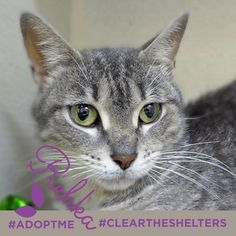 July 23rd is Clear the Shelters day. We're sharing adoptable animals now through the end of the month! Lets clean those shelters out of cuties like these!  Rehka, such a pretty grey with beautiful green eyes. She is currently being cared for by our friends at Feline Rescue, Inc. Visit their site for more details!