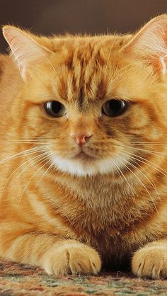 Ginger Cats are so Lovable