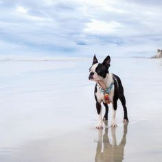 "135 Likes, 15 Comments - Boston Terriers Maggie + Orbit (@maggielovesorbit) on Instagram: "" where the sky meets the sea #meetmethere . . Del Mar Beach low tide ... is our happy place! We…"""