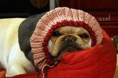 """IT'S SO COLD I'M GONNA STAY INSIDE ALL WINTER"", French Bulldog by Izznit, via Flickr"