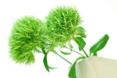 テマリソウ 緑http://hanaya87.com/library/flower/flmt437