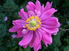 Anemone hybrida 'Pamina'  kwekerij in Veenendaal