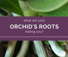Become the perfect orchid water-er simply by understanding orchid roots. If you know orchid roots, you'll never over, or under water orchids again.