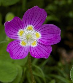 Mountain Wood-sorrel: Oxalis montana [Family:	Oxalidaceae] - Another Color-form - Flickr - Photo Sharing!