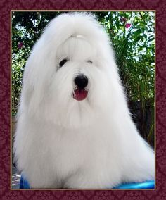 BATHING  GROOMING YOUR COTON DE TULEAR