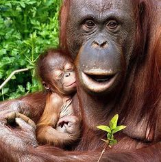 """Die Bezeichnung """"Orang-Utan"""" stammt von den malaiischen Wörtern """"orang""""… The term """"orangutan"""" comes from the Malay words """"orang"""" (human) and """"utan"""" or """"hutan"""" (forest) and therefore means """"forest man"""". This name first appeared in European languages in Primates, Mammals, Cute Baby Animals, Animals And Pets, Funny Animals, Beautiful Creatures, Animals Beautiful, Baby Orangutan, Cute Monkey"""