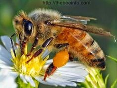 African Bees: African Killer Bees Facts & Its Wonderful History