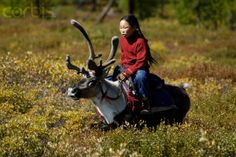 Tsaatan (Dukha) Reindeer Nomads