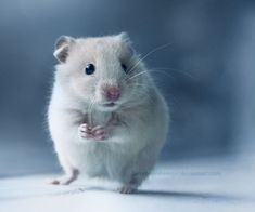A white hamster standing on its hind legs.   ...........click here to find out more     http://googydog.com
