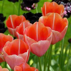 Die französische Tulpe 'Menton' begeistert mit ihrer rosaroten Farbgebung. Pflanzzeit ist im Herbst - online bestellbar bei www.fluwel.de
