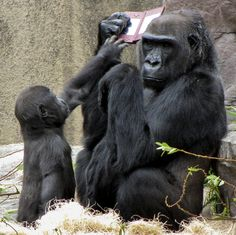 ...Christina, 33, of California, told Rex Features: 'I heard a commotion and realised a little boy had dropped the Nintendo into the gorilla habitat. Bawang immediately ran over to get the game before sitting down and inspecting it. But pretty soon Hasani came over to see what was going on. Hasani reached for it a few times, and was swatted away by Bawang' Bawang was eventually persuaded to thrown the Nintendo back into the watching crowd by a gamekeeper - in return for an apple