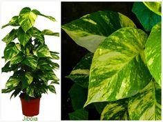 Plantas que filtam o Ar - Jibóia