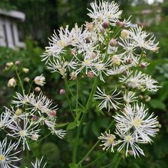 Meadow-Rue