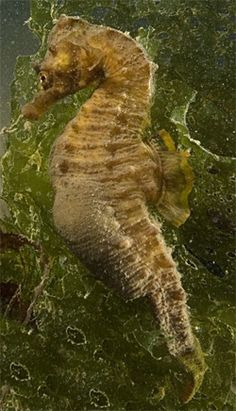 short snouted seahorse / Paul Naylor    http://www.sussexwildlifetrust.org.uk/blog/