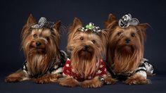 Yorkshire terriers.