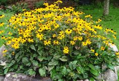 Our Black-eyed Susan patch