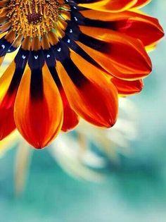 Orange & aqua sunflower