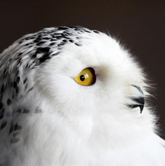 Global warming threatens the birds we love, including the Snowy Owl.