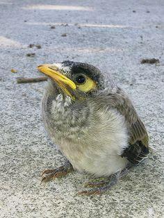 Juvenile Noisy Miner (Manorina melanocephala) by LCHxian, via Flickr