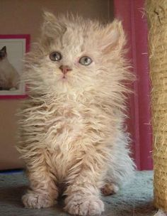 Kittens for adoption : Kitten and cat classifieds / Selkirk Rex lol This is a Selkirk Rex not a mop. So Sweet.