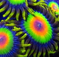 Rasta Zoanthids ... Follow On Instagram @MarineBeauty101