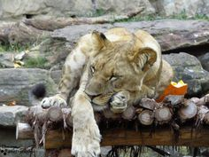 Love my cats! Fort Worth Zoo, Dallas, Lion, Cats, Animals, Leo, Gatos, Animales, Animaux