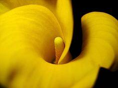 Yellow arum lily