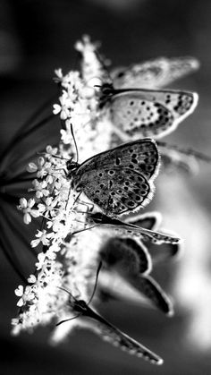 Black and White butterflies. Exceptionally striking!