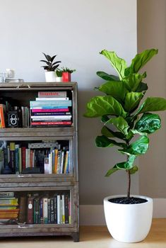 Top 5 Indoor Plants and How to Care for Them - Floor Plants - Ideas of Floor Plants - Top 5 Indoor Plants and How to Care for Them Fiddle Leaf Fig-Ficus Lyrata House Tree Plants, Trees To Plant, House Trees, Tree Garden, Garden Art, Ficus Lyrata, Fiddle Leaf Fig Tree, Fiddle Fig, Belle Plante