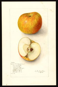 Red Winter Pearmain. Artist: Newton, Amanda Almira, ca. 1860-1943 Scientific name: Malus domestica Common name: apples Variety: Red Winter Pearmain Geographic origin: Watsonville, Santa Cruz County, California, United States Physical description: 1 art original : col. ; 17 x 25 cm. NAL note: Alternative variety name(s): Pomme des Fer Specimen: 35693 Year: 1906 Notes on original: Delayed Storage (35694). Picked 09/25/1905. Packed 09/26/1905. Stored 10/28/1905 Date created: 1906-04-17