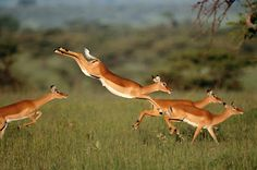 Gazelle. Only 1 out of every 16 - 19 falls prey to the cheetah. Intensity.