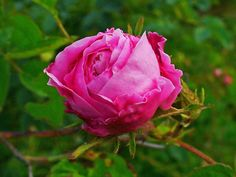 Rose Centifolia à l'odeur, chaude, miellée, épicée et un peu tabac...