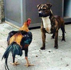 Staffordshire Bull Terrier vs. Cock