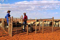 Farm hands at desert sheep farm