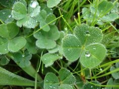 What's so lucky about a four-leaf clover? | KFOR.com