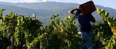 castiglione-di-sicilia-vendemmia-nelle-cantine-aiello-graci #Sicily