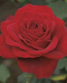 Olympiad Hybrid Tea Rose - This one is a true classic with it's brilliant red blooms that are carried on long cutting stems. An abundance of flowers throughout the summer.
