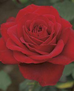 Olympiad Hybrid Tea Rose Exotic Flowers, Cut Flowers, Purple Flowers, White Flowers, Pretty Roses, Beautiful Roses, Ronsard Rose, Peonies Garden, Flowers Garden