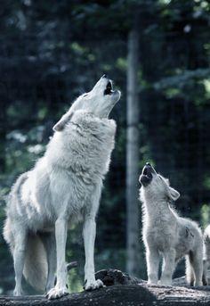 Mama & baby wolf howling