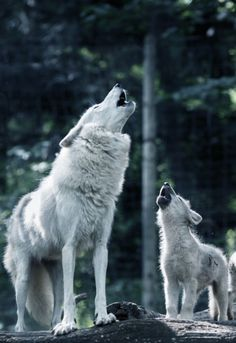 Mama & baby wolf howling