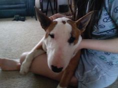 Gracie the bull terrier