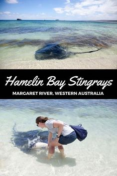 Meet the Hamelin Bay Stingrays, Western Australia. A must-have experience if you are traveling around Australia. Brisbane, Sydney, Melbourne Australia, Queensland Australia, Gold Coast Australia, Western Australia, Australia Travel, Australia Tours, Travel Couple