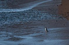 A yellow-eyed penguin makes his early-morning walk to start a day of fishing out at sea. At Oamaru's Bushey Beach.