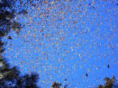 Migration of Monarch Butterflies - Flickr/Luna sin estrellas