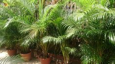 5 plantes à mettre dans la chambre pour passer une nuit agréablenoté 4.9 - 7 votes Les plantes d'intérieur peuvent non seulement décorer la maison, mais aussi influencervotre état de santé. Certaines d'entre-ellessont connues pour leurs qualités apaisantes et peuvent améliorer la qualité du sommeil. Nous avons décidé de vous parler de plantes qui peuventêtre …