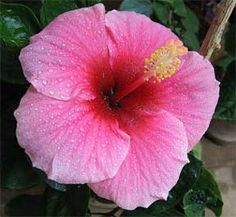 Growing a hibiscus tree adds a tropical flavor to the garden. The reward in learning patio hibiscus plant care is years of beautiful flowers. Hibiscus Plant, Hibiscus Tea, Hibiscus Flowers, Tropical Flowers, Red Flowers, Growing Hibiscus, Growing Lavender, Hibiscus Rosa Sinensis, Flower Seeds
